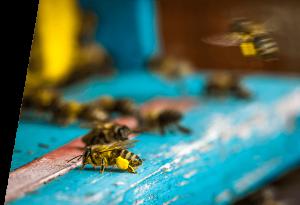 BuzzBalm bees